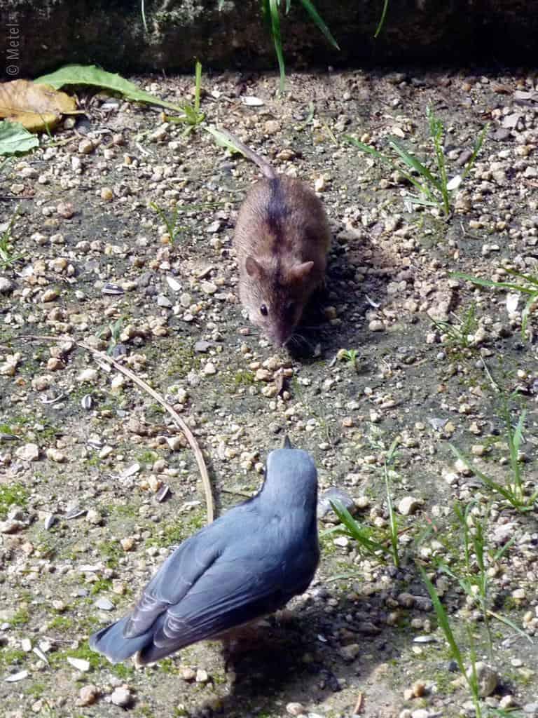 mausvogel1-